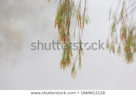 Weeping tree with beads of glistening water on a foggy morning  Stock photo © lovleah