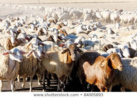 sheep herd, Castile and Leon, Spain Stock photo © phbcz