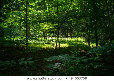 Trilha luz solar árvores em linha reta Foto stock © Balefire9