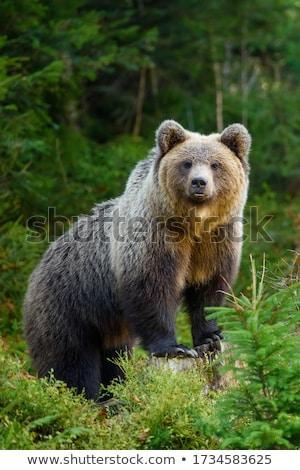 Бурый медведь портрет природы животные жизни несут Сток-фото © prill