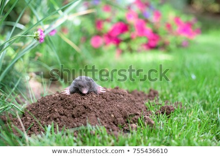 Mole in ground Stock photo © photocreo