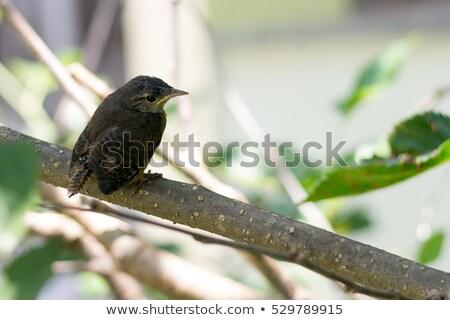 cantankerous bird Stock photo © taviphoto
