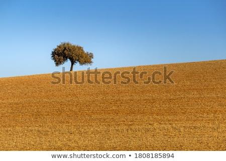 pole · pszenicy · region · Portugalia · drzewo · wiosną · trawy - zdjęcia stock © inaquim