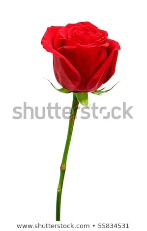 Red Rose Bud In The Sunlight Stockfoto © Serg64