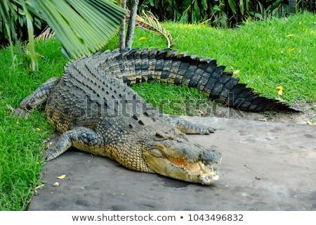 crocodilo · queensland · Austrália · natureza · viajar - foto stock © dirkr