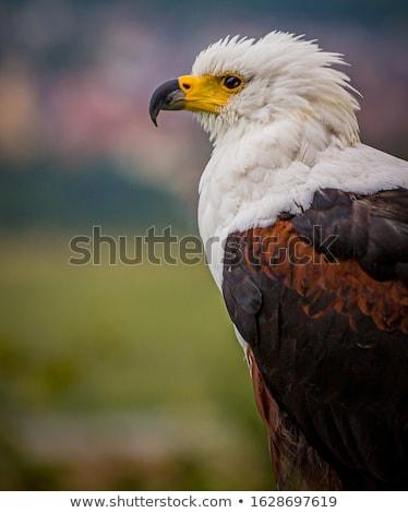 African Fish Eagle (Haliaeetus vocifer) Stock photo © dirkr