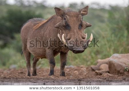 Warthog Stock photo © sailorr