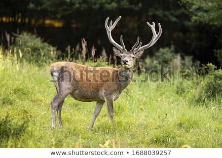 red deer cervus elaphus stock photo © chris2766