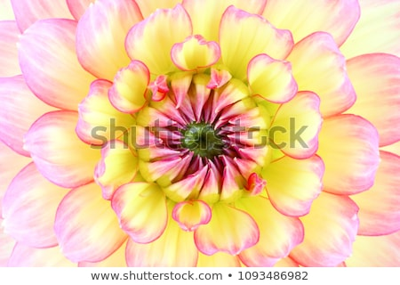 close up of single yellow dahlia stock photo © jenbray