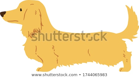 Long haired dachshund Stock photo © bigandt