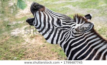 portrait of a zebra eats close stock photo © oleksandro