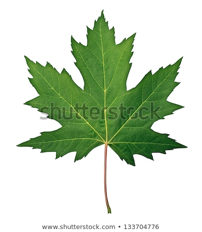 Сток-фото: Green Maple Leaf Isolated On A White Background