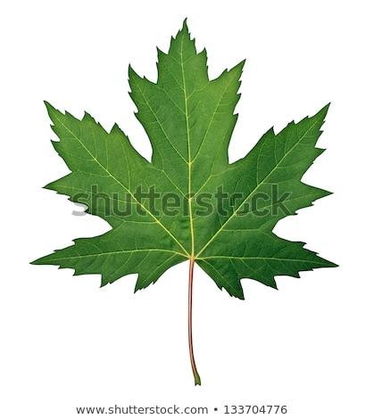 зеленый Maple Leaf изолированный белый дерево природы Сток-фото © Nobilior