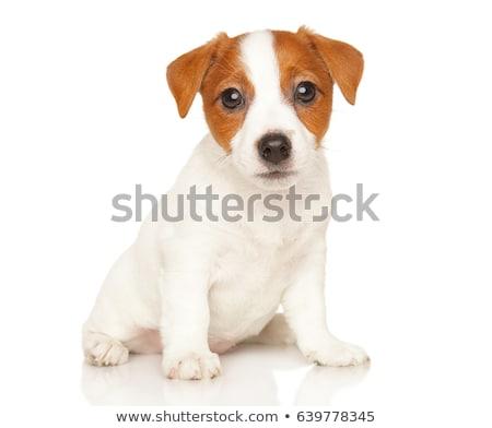 Little jack russel Stock photo © tilo