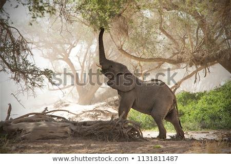 Desert Elephant in Namibia Stock photo © dirkr