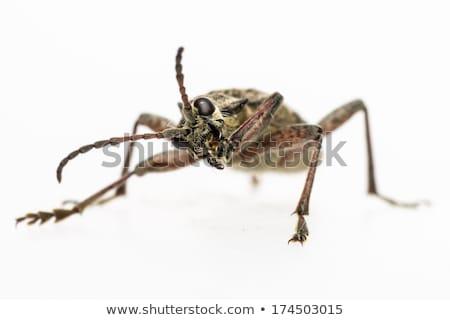 The blackspotted pliers support beetle, Rhagium mordax stock photo © t3rmiit