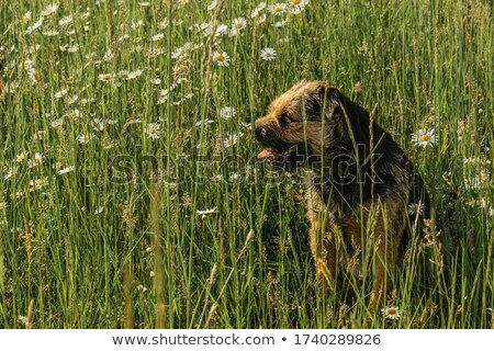 The funny Border Terrier on a green grass lawn Stock photo © CaptureLight