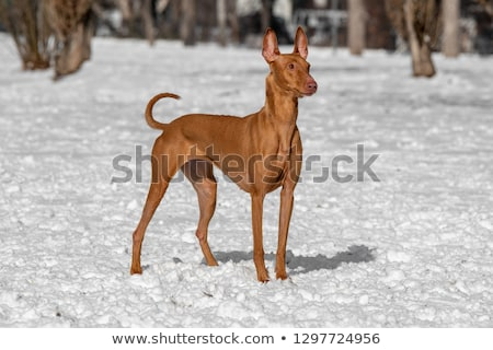 Typical  Pharaoh Hound  in the garden Stock photo © CaptureLight