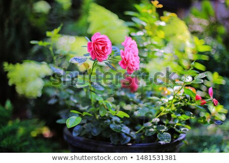 Bella Rose Red aiuola giardino rosa sfondo Foto d'archivio © mcherevan