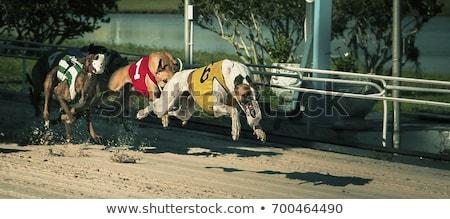 Stok fotoğraf: Tazı · köpekler · yarış · kum · izlemek · eğlence