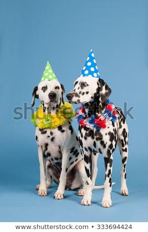 Dálmata perro cumpleanos animales azul retrato Foto stock © ivonnewierink