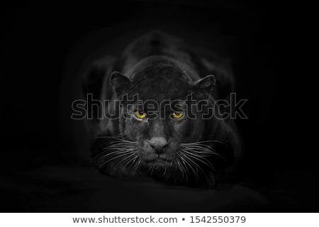 Stok fotoğraf: Siyah · panter · güzel · karanlık · arka · plan · portre
