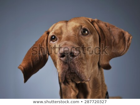Stock photo: Hungarian vizsla portrait with flying ears in dark background