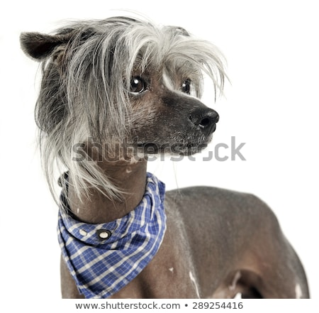 very cute chinese crested dog portrait in white background stock photo © vauvau