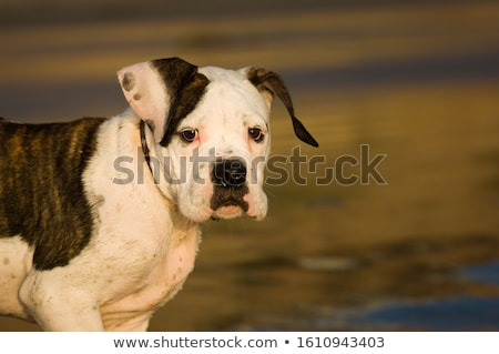 Stock photo: Portrait of an adorable Boxer dog