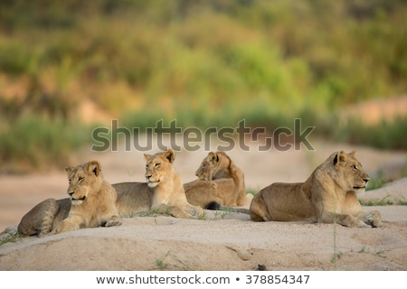 Resting Lioness in the Kruger National Park, South Africa. Stock photo © simoneeman