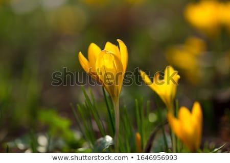 yellow crocuses in the springtime stock photo © klinker