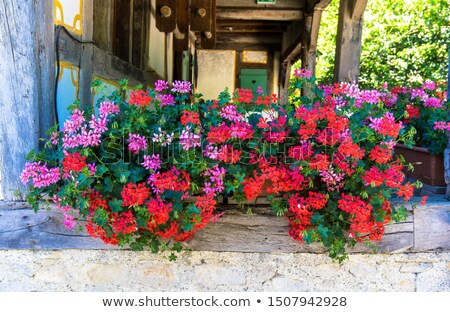 geranium in a pot  Stock photo © OleksandrO