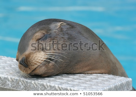 California Sea Lion Headshot Stock photo © yhelfman