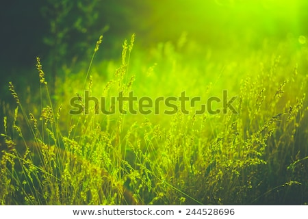 Close up on the grassland in sunset light Stock photo © digoarpi