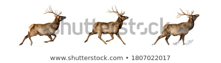Beautiful Elk with New Antlers Grazing stock photo © feverpitch