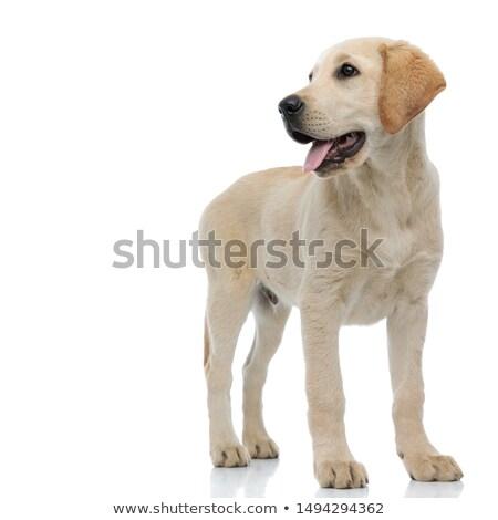 Blanco curioso cachorro lado Inglés Foto stock © feedough