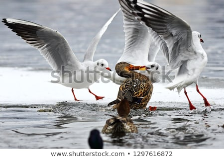 black headed gull and mallard duck fighting for food Stock photo © taviphoto