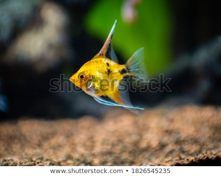 Angelfish in the water Stock photo © boggy
