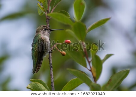 A cute Hummingbird with iridescent feathers Stock photo © shawlinmohd