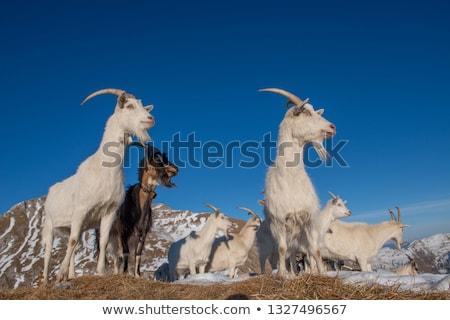 Pecore capre himalaya montagna farm Foto d'archivio © dmitry_rukhlenko
