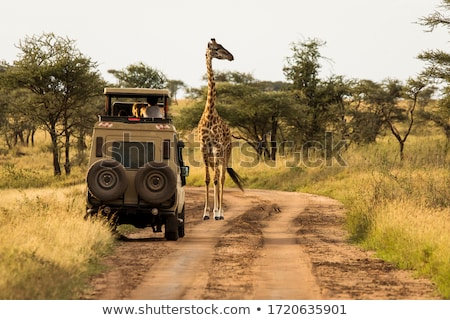 Giraffe and Tree Stock photo © mdfiles