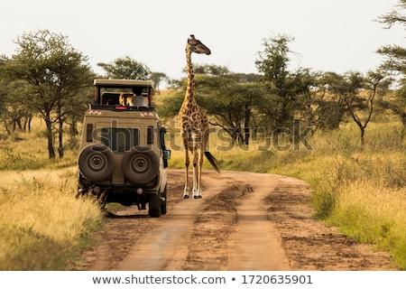 Giraffe and Tree stock photo © mdfiles