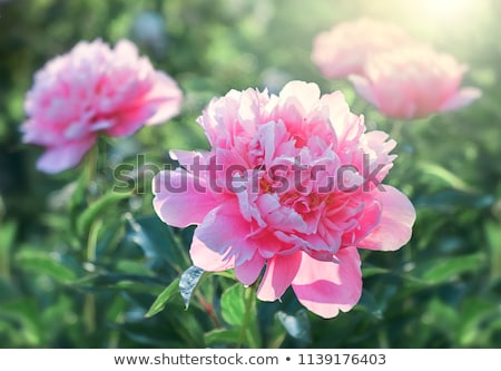 Stock photo: Big pink peony flower in garden