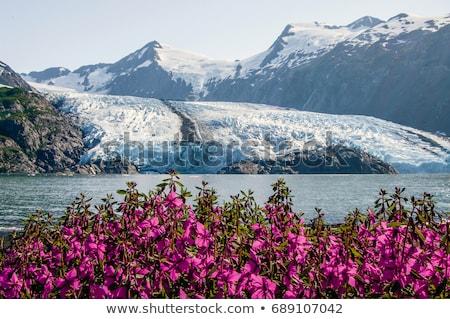 Flores silvestres Alaska estrella fugaz isla flor naturaleza Foto stock © wildnerdpix