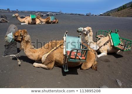 Верблюды вулкан Канарские острова пейзаж горные Сток-фото © lunamarina