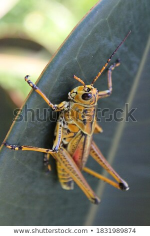 Amarelo gafanhoto em pé folha animal masculino Foto stock © smithore