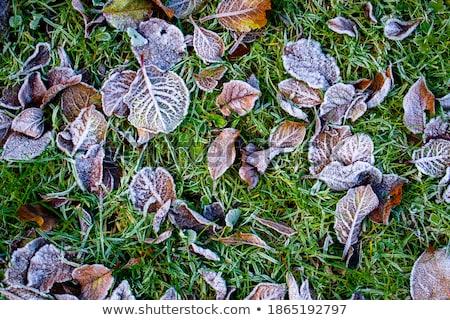 葉 · 緑の草 · クローズアップ · 葉 · 霜 - ストックフォト © michey