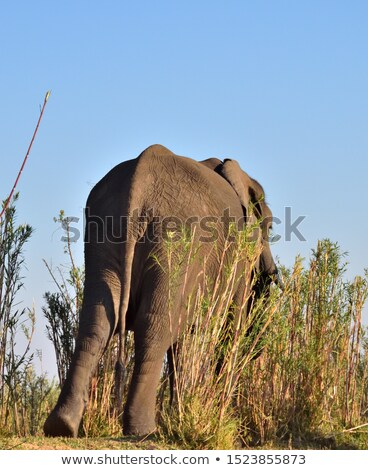 Dev erkek afrika fil yürüyüş etrafında doğa Stok fotoğraf © dacasdo