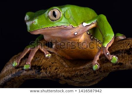Green monkey frog Stock photo © vwalakte