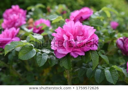 Rose _Rosa Rugosa, rosehips stock photo © TheFull360
